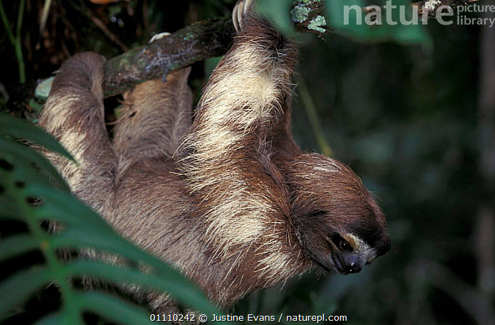 Brown throated (three toed) sloth {Bradypus variegatus} Costa Rica, Central Africa, CENTRAL AMERICA,EDENTATES,MAMMALS,HORIZONTAL,HANGING,SLOTHS,THREE,TOED, Justine Evans