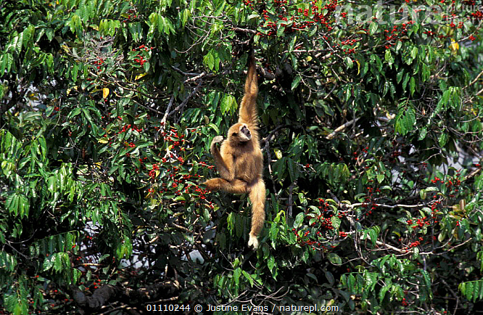 White handed gibbon, alpha male in fig tree {Hylobates lar} Khao Yai NP, Thailand, tropical, ASIA,BRACHIATION,CASSIUS,MALES,MAMMALS,HORIZONTAL,FRUIT,GIBBONS,FEEDING,RESERVE,SOUTH EAST ASIA,PRIMATES,VERTICAL,TROPICAL RAINFOREST,PLANTS,APES, Justine Evans