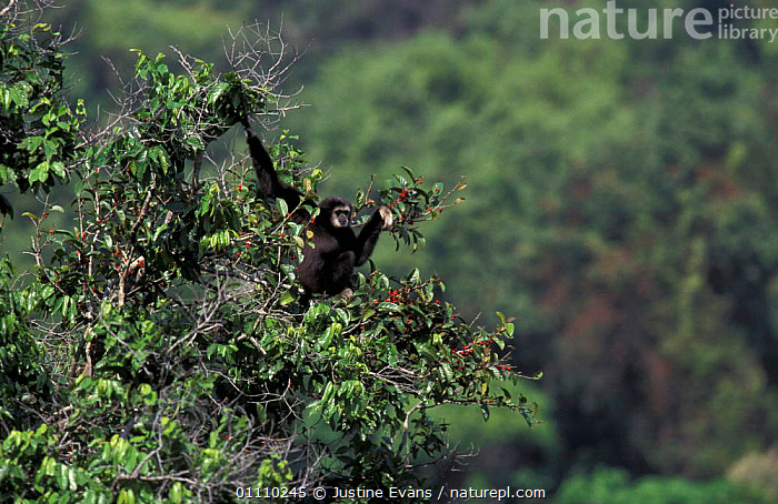 White handed gibbon in fig tree {Hylobates lar} tropical rainforest, Khao Yai NP, Thailan, TROPICAL RAINFOREST,VERTICAL,THAILAND,PRIMATES,SOUTH EAST ASIA,RESERVE,FEEDING,GIBBONS,FRUIT,HORIZONTAL,MAMMALS,ASIA,PLANTS,APES, Justine Evans