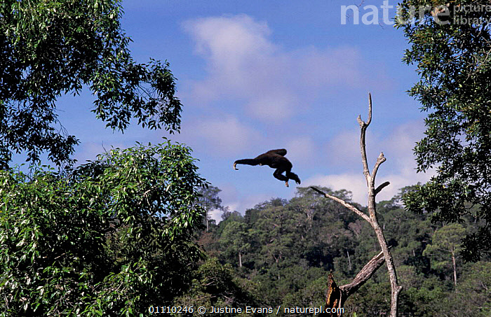 White handed gibbon, alpha male leaping {Hylobates lar} tropical rainforest, Khao Yai NP,, ASIA,ACTION,BRACHIATION,MAMMALS,JUMPING,MALES,MOVEMENT,HORIZONTAL,GIBBONS,FEARLESS,RESERVE,SOUTH EAST ASIA,PRIMATES,THAILAND,VERTICAL,TROPICAL RAINFOREST,APES, Justine Evans