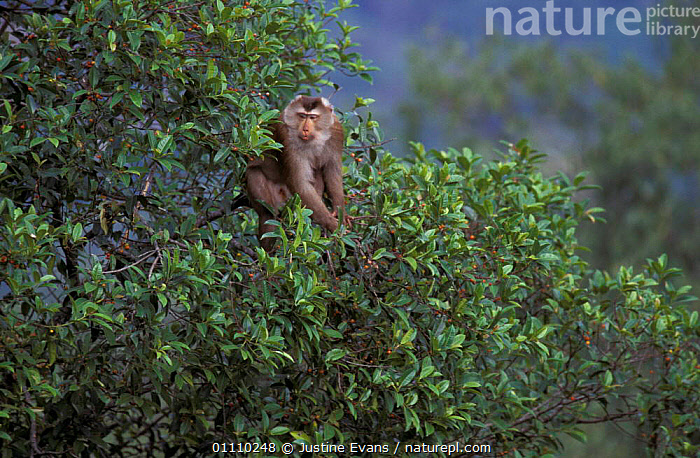 Pigtail macaque feeding in fig tree {Macaca nemestrina} Khao Yai NP, Thailand, tropical, ASIA,MAMMALS,MACAQUES,HORIZONTAL,SOUTH EAST ASIA,PRIMATES,TROPICAL RAINFOREST,MONKEYS, Justine Evans