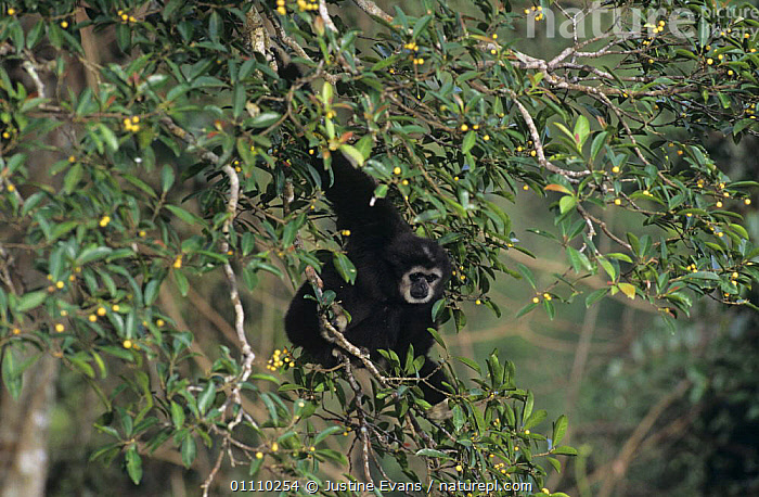 White handed gibbon (Hylobates lar) alpha male feeding in fig tree in tropical rainforest, Khao NP, Thailand, ASIA,ENDANGERED,FRUIT,GIBBONS,GREAT APES,MALES,MAMMALS,NP,PRIMATES,RESERVE,TREES,TROPICAL RAINFOREST,VERTEBRATES,Plants,National Park, Justine Evans