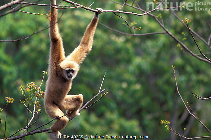 White handed gibbon, alpha male hanging in tree {Hylobates lar} Khao Yai NP, Thailand 'Cassius', TROPICAL RAINFOREST,TROPICAL RAINFOREST,VERTICAL,PRIMATES,SOUTH EAST ASIA,RESERVE,HORIZONTAL,GIBBONS,MALES,MAMMALS,ASIA,BRACHIATION,APES, Justine Evans