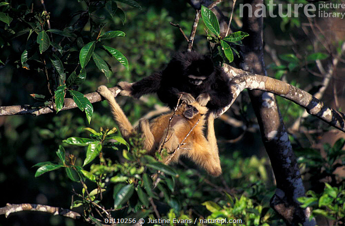 White handed gibbon alpha male grooms female {Hylobates lar} Khao Yai NP, Thailand, BEHAVIOUR,ASIA,COUPLE,MAMMALS,MALE FEMALE PAIR,MUTUAL,GIBBONS,GROOMING,RESERVE,SOUTH EAST ASIA,SOCIAL,PRIMATES,TROPICAL RAINFOREST,TWO,,APES, Justine Evans