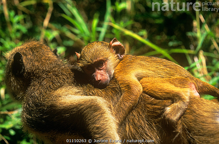 Yellow baboon {Papio cynocephalus} adult carrying infant, Tanzania, AFRICA,BABIES,BABOONS,CUTE,EAST AFRICA,FAMILIES,MAMMALS,MONKEYS,MOTHER,PRIMATES,RESERVE,VERTEBRATES, Justine Evans