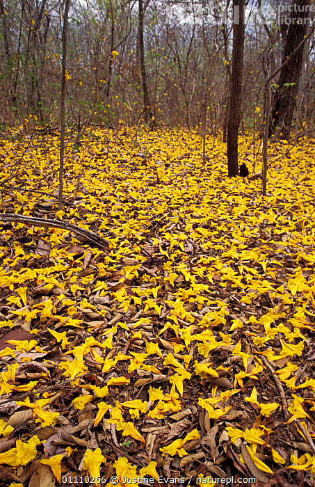 Fallen Trumpet flowers {Tabebuia sp} carpet floor of tropical dry forest, Santa Rosa, RESERVE,VERTICAL,YELLOW,TROPICAL DRY FOREST,UNDERSTOREY,COSTA RICA,LANDSCAPES,NP,NATIONAL PARK , understory, Justine Evans