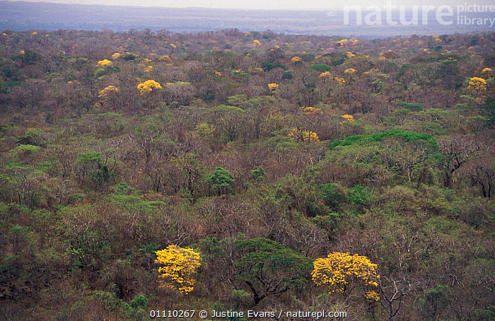 Flowering Trumpet flower trees {Tabebuia sp} in tropical dry forest, Santa Rosa NP, Costa Rica, LANDSCAPES,HORIZONTAL,FLOWERS,TROPICAL DRY FOREST,YELLOW,RESERVE, Justine Evans