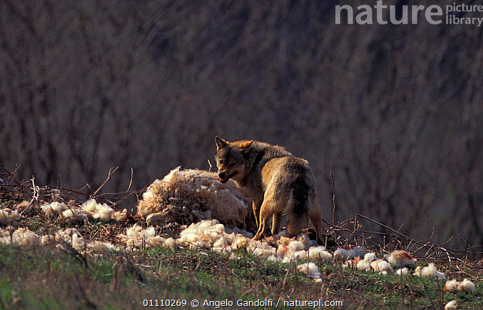 European grey wolf {Canis lupus} feeds on sheep. Abruzzo NP, Italy, AGGRESSION,CARNIVORES,EUROPE,HORIZONTAL,FEEDING,MAMMALS,LIVESTOCK,WOLVES,PREDATION,RESERVE,SNARLING,SHEEP,CONCEPTS,BEHAVIOUR,DOGS,CANIDS, Angelo Gandolfi