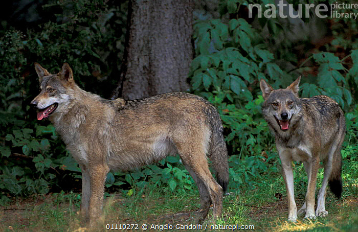 Two European grey wolves {Canis lupus} Abruzzo NP, Italy, CARNIVORES,EUROPE,HORIZONTAL,MAMMALS,PAIR,WOODLANDS,RESERVE,DOGS,CANIDS, Angelo Gandolfi