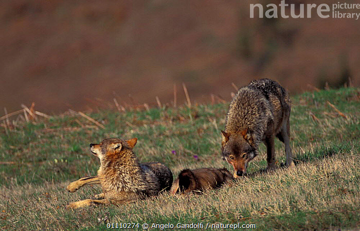 European grey wolf {Canis lupus} rolls on Badger prey for odour. Abruzzo NP, Italy, BEHAVIOUR,CARNIVORES,INTERESTING,HORIZONTAL,MAMMALS,MELES,ODOUR,WOLVES,PREDATION,RESERVE,ROLLING,SMELL,DOGS,CANIDS, Angelo Gandolfi