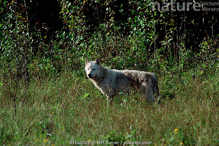 Grey wolf {Canis lupus} Wood Buffalo NP, Alberta, Canada., RESERVE,NORTH AMERICA,WOLVES,CANADA,CARNIVORES,MAMMALS,Dogs,Canids, Jeff Turner