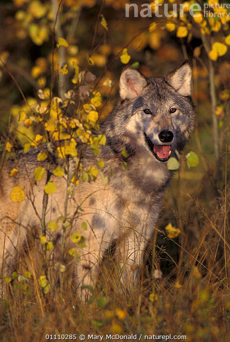 Grey wolf portrait {Canis lupus} captive USA, CARNIVORES,WOLVES,PORTRAITS,NORTH AMERICA,MAMMALS,DOGS,CANIDS, Mary McDonald