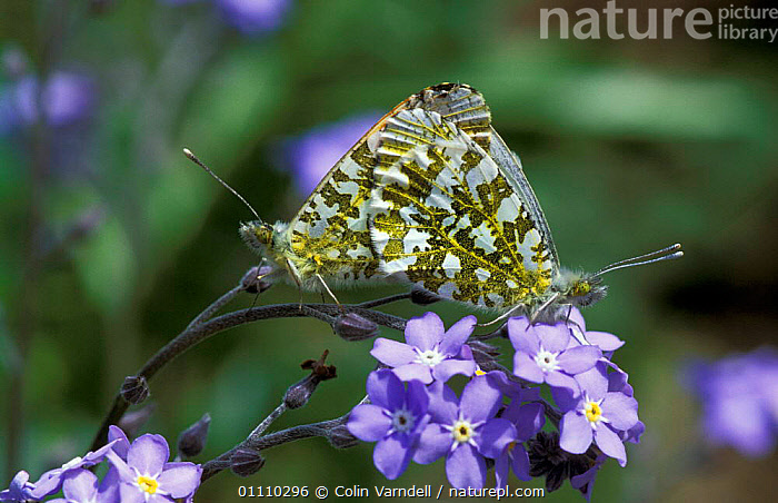 Orange tip butterflies mating {Anthocharis cardamines} UK, INSECT,TWO,FLOWERS,BRITISH,BEHAVIOUR,LEPIDOPTERA,COUPLE,MATING BEHAVIOUR,COPULATION,ENGLAND,PAIR,MALE FEMALE PAIR,EUROPE,INSECTS,REPRODUCTION,INVERTEBRATES, Colin Varndell