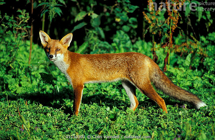 Red fox, juvenile in summer {Vulpes vulpes} UK, EUROPE,FOXES,MAMMALS,ENGLAND,PROFILE,CARNIVORES,BRITISH,DOGS,CANIDS, Colin Varndell