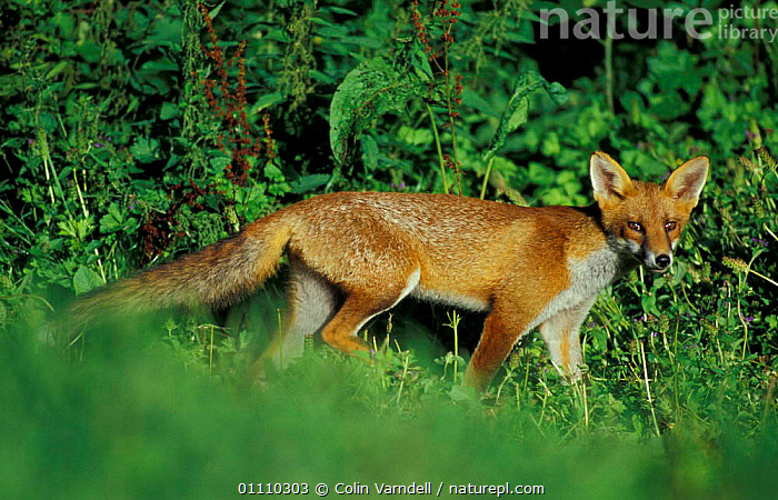 Red fox, juvenile in summer {Vulpes vulpes} UK, MAMMALS,CARNIVORES,BRITISH,ENGLAND,PROFILE,WALKING,EUROPE,FOXES,DOGS,CANIDS, Colin Varndell