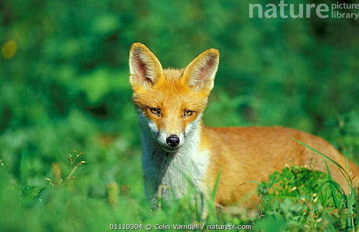 Red fox, juvenile portrait {Vulpes vulpes} UK, PORTRAITS,ENGLAND,EUROPE,BRITISH,FOXES,CARNIVORES,MAMMALS,DOGS,CANIDS, Colin Varndell