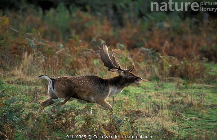Fallow deer stag in rut {Dama dama} New Forest, Hampshire UK, CALLING,VOCALISATION,BARKING,ENGLAND,RUNNING,BRITISH,MALES,MATING BEHAVIOUR,ACTION,EUROPE,ARTIODACTYLA,BEHAVIOUR,MAMMALS,RESERVE,REPRODUCTION, Colin Varndell
