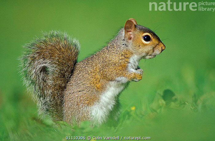 Grey squirrel sitting {Sciurus carolinensis} UK, RODENTS,MAMMALS,ALERT,POSTURE,EUROPE,SQUIRRELS,ENGLAND,BRITISH,GettyBOV, Colin Varndell