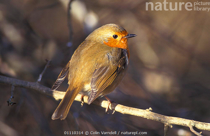 Robin, feathers fluffed up for warmth {Erithacus rubecula} UK, THERMOREGUTION,WINTER,PASSERINES,HORIZONTAL,BRITISH,BEHAVIOUR,BIRDS,EUROPE,ENGLAND, Colin Varndell