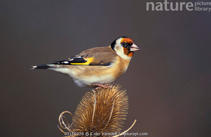 Goldfinch {Carduelis carduelis} on Teasel seedhead. UK, ENGLAND,EUROPE,BIRDS,BRITISH,HORIZONTAL,SEEDS,PLANTS,PASSERINES, Colin Varndell