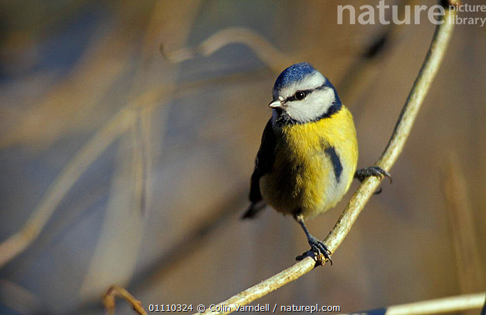 Blue tit portrait {Parus caeruleus} UK, ENGLAND,EUROPE,BIRDS,BRITISH,HORIZONTAL,VERTICAL,TITS,PASSERINES,PORTRAITS, Colin Varndell