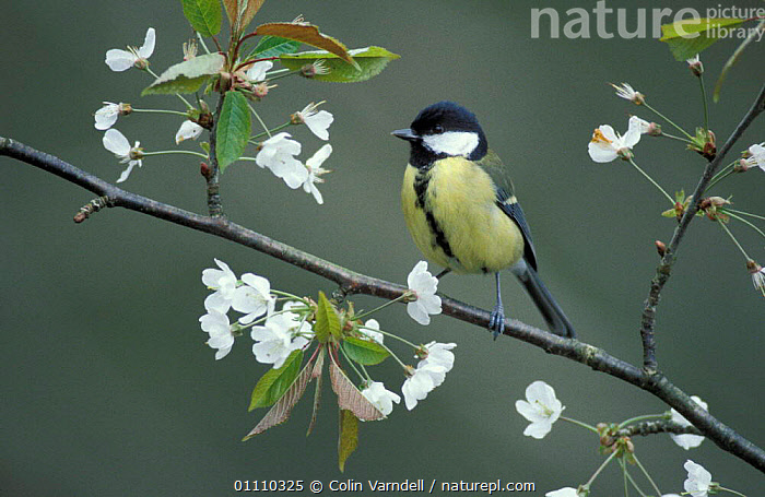 Great tit amongst blossom {Parus major} UK. Not available for Greetings Cards or Notelets until October 2016  ,  PASSERINES,TITS,SPRING,VERTICAL,HORIZONTAL,FLOWERS,BRITISH,BIRDS,EUROPE,ENGLAND,CHERRY  ,  Colin Varndell