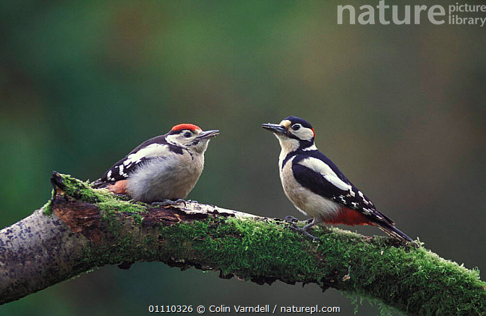 Nature Picture Library Great Spotted Woodpecker Adult Male