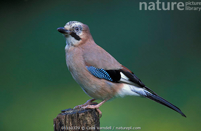 Jay portrait {Garrulus glandarius} UK, PASSERINES,PERCHED,PORTRAITS,HORIZONTAL,BRITISH,BIRDS,EUROPE,ENGLAND,CORVIDAE,CORVIDS, Colin Varndell