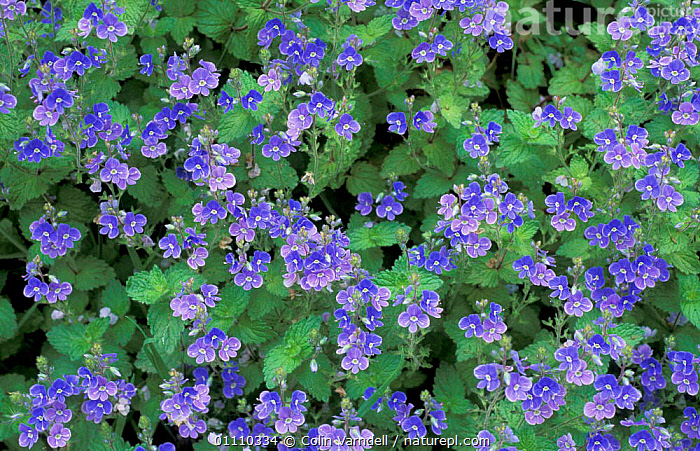 Germander speedwell in flower {Veronica chamaedrys} UK, ENGLAND,FLOWERS,SPEEDWELLS,PLANTS,BRITISH,EUROPE,PATTERNS,BLUE, Colin Varndell