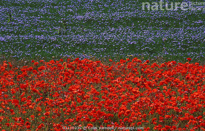 Common poppies {Papaver rhoeas} growing beside field of Linseed crop. UK, ENGLAND,EUROPE,CROPS,COLOURFUL,AGRICULTURE,MIXED SPECIES,HORIZONTAL,FLOWERS,FLAX,FARMLAND,PLANTS, Colin Varndell