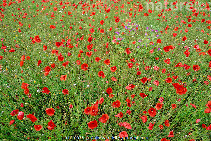 Common poppies flowering {Papaver rhoeas} + Mallow plant. UK, FARMLAND,ENGLAND,BRITISH,EUROPE,FLOWERS,MIXED SPECIES,PLANTS,PLANT,SUMMER, Colin Varndell