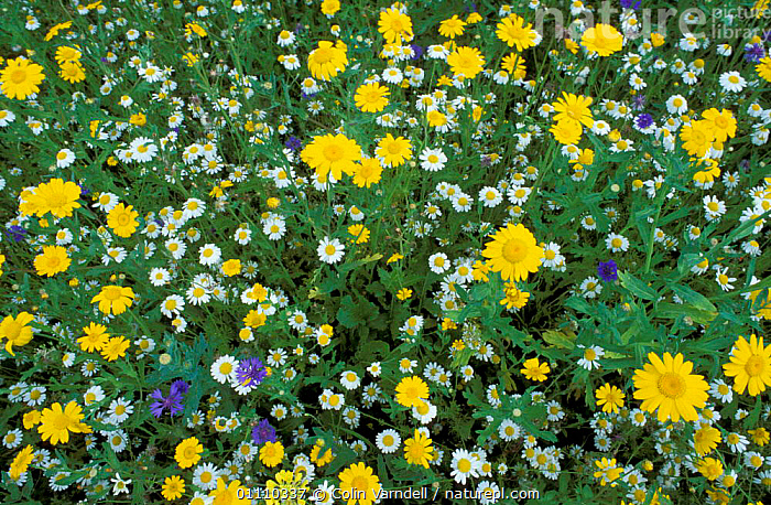 Marguerite flowers {Leucanthemum vullgare} amongst mixed wild flowers. UK, PLANTS,WILDFLOWERS,VULLGARE,HORIZONTAL,MIXED SPECIES,BRITISH,COLOURFUL,DAISIES,EUROPE,ENGLAND, Colin Varndell
