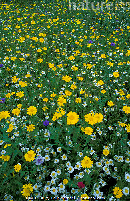 Marguerite / Ox-eye daisy flowers {Leucanthemum vullgare} & other wild flowers. UK, BRITISH,ENGLAND,MIXED,PLANTS,VULLGARE,EUROPE,MIXED SPECIES,DAISIES,AMONGST, Colin Varndell