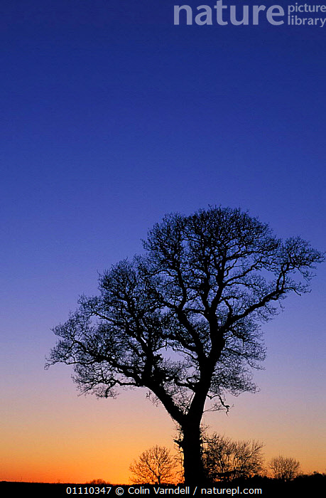 Oak tree silhouette at sunset, UK, EUROPE,ENGLAND,BRITISH,TREES,VERTICAL,SKIES,SILHOUETTES,PLANTS, Colin Varndell