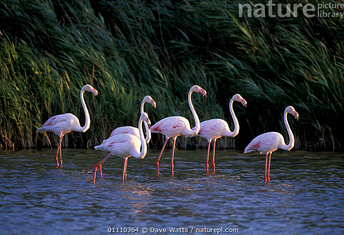 Greater flamingos {Phoenicopterus ruber} Camargue, France, SIX,WADERS,WADING,WATER,BIRDS,WETLANDS,GROUPS,EUROPE,FLOCKS, Dave Watts