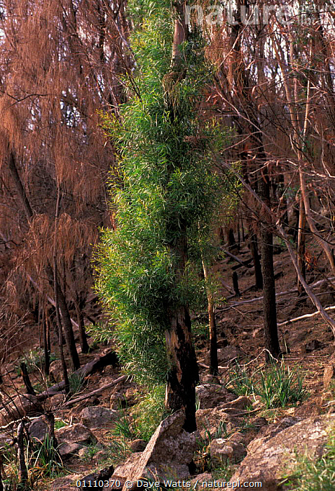 Epicormic shoots sprouting on Eucalyptus trees after forest fire, Tasmania, Australia, GROWTH,REGENERATION,REGROWTH,INTERESTING,PLANTS,Concepts, Dave Watts