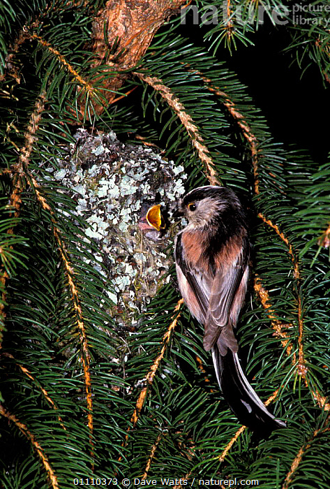 Long tailed tit with chick in nest {Aegithalos caudatus} France, PASSERINES,FAMILIES,BIRDS,TITS,EUROPE,LICHEN,NESTS,FRANCE,BABIES, Dave Watts