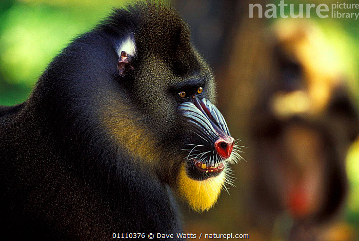 Mandrill head portrait {Mandrillus sphinx} captive from West Africa, MAMMALS,PRIMATES,WEST AFRICA,PORTRAITS,Africa,Baboons, Dave Watts