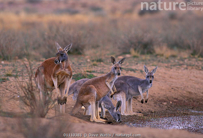 Red kangaroo family group {Macropus rufus} Australia, FEMALE,MARSUPIALS,KANGAROOS,FOUR,GROUPS,FAMILIES,MAMMALS,DRINKING, Dave Watts