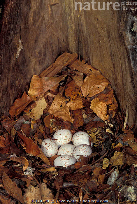 European nuthatch nest inside hollow trunk {Sitta europaea} Pyrenees, France, TRUNKS,EGGS,SIX,NESTS,NUTHATCHES,BIRDS,TREES,EUROPE,Plants, Dave Watts