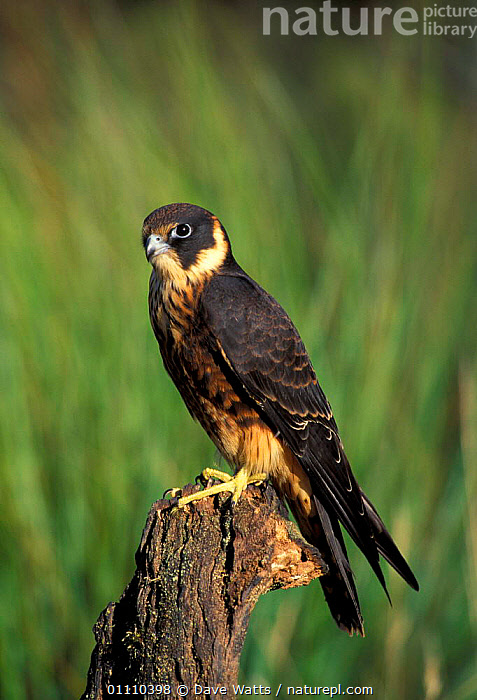 Australian hobby male perched {Falco longipennis} Australia, FALCONS,BIRDS,MALES,BIRDS OF PREY, Dave Watts