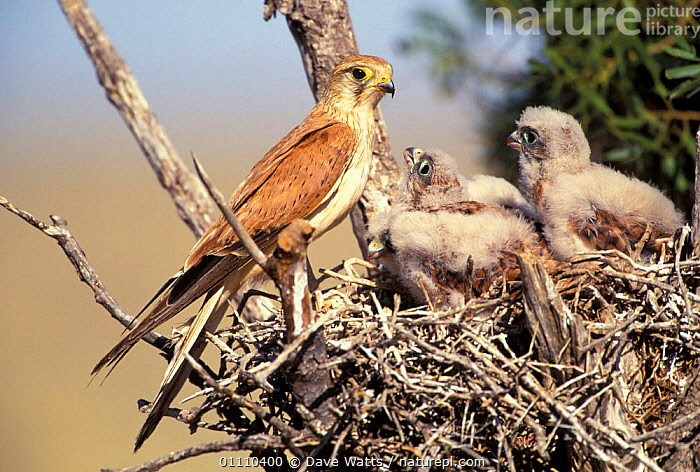 Australian kestrel female at nest with chicks {Falco cenchroides} Australia, NESTS,FEMALES,BIRDS,BABIES,FALCONS,FAMILIES, Dave Watts