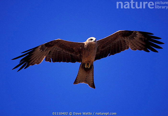 Black kite flying {Milvus migrans} Australia, SOARING,KITES,SKY,BIRDS,BIRDS OF PREY, Dave Watts