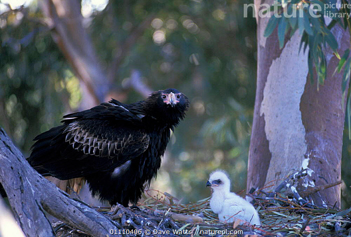 Wedge tailed eagle female at nest with chick {Aquila audax} Central Australia, FAMILY,BIRDS,NESTS,BABIES,BIRDS OF PREY,EAGLES,FAMILIES,Raptor, Dave Watts