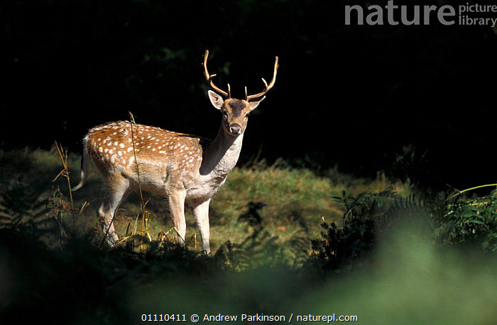 Fallow deer stag in woodland clearing {Dama dama} Leicestershire, UK Bradgate park, WOODLANDS,BRITISH,ARTIODACTYLA,EUROPE,ENGLAND,MAMMALS,MALES,HORIZONTAL, Andrew Parkinson