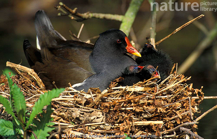 Moorhen on nest with chicks {Gallinula chloropus} Derbyshire, UK Cromford canal, FAMILIES,HORIZONTAL,NESTS,ENGLAND,EUROPE,BIRDS,BRITISH,WATERFOWL, Andrew Parkinson