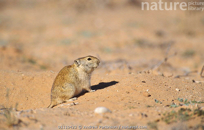 Brant's whistling rat on guard at burrow {Parotomys brantsii} Kgalagadi TP, South Africa, SOUTHERN AFRICA,RESERVE,RATS,RODENTS,SOCIAL BEHAVIOUR,HORIZONTAL,MAMMALS,BRANDTS,BRANT,MURIDAE, Andrew Parkinson