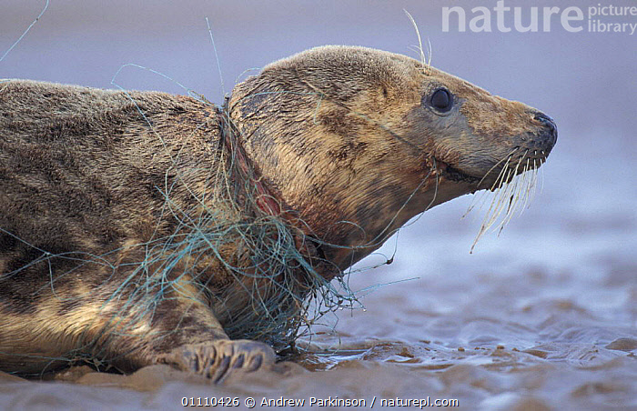 Grey seal female caught in fishing net {Halichoerus grypus} Lincolnshire, UK, ENGLAND,EUROPE,BRITISH,MARINE,MAMMALS,FISHERIES,HORIZONTAL,POLLUTION,PINNIPEDS,SEALS,WOUNDED,TANGLED, CARNIVORES , United Kingdom, CARNIVORES , United Kingdom, Andrew Parkinson