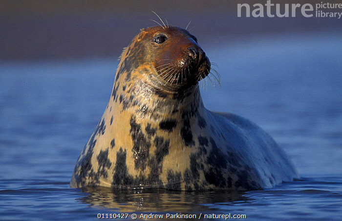 Grey seal female watching pup {Halichoerus grypus} Lincolnshire, UK, SEALS,PINNIPEDS,HORIZONTAL,FEMALES,MAMMALS,MARINE,BRITISH,EUROPE,ENGLAND, Andrew Parkinson