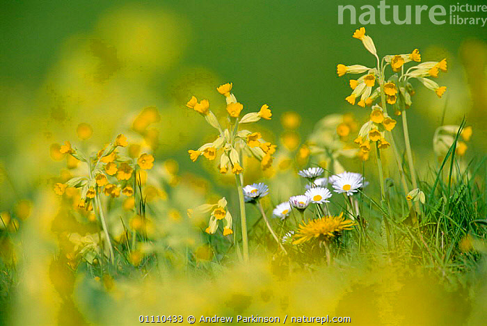 Cowslip flowering {Primula veris} Derbyshire, UK, FLOWERS,YELLOW,BRITISH,EUROPE,SPRING,ENGLAND,PLANTS, Andrew Parkinson